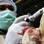 crean pollos inmunes a la gripe aviar