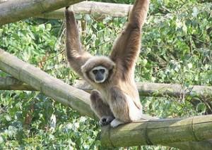 Los grandes simios podrían desaparecer en 20 años