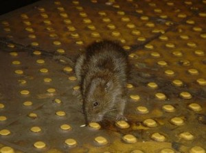 Las ratas son protagonistas de un concurso de fotografía