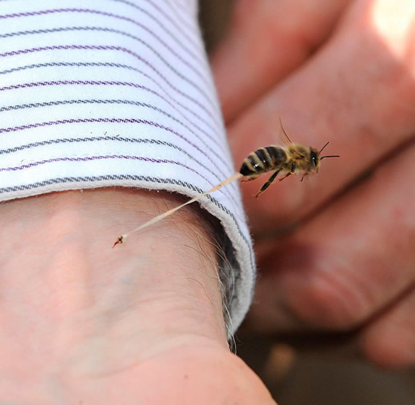 ¿Por qué mueren las abejas después de picar?