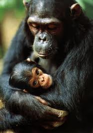 chimpances reconocen justicia injusticia