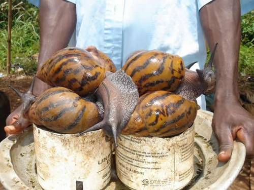 florida-infestada-caracoles-gigantes-africa
