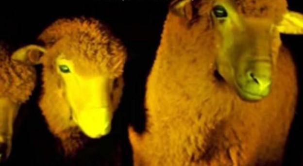 científicos uruguay crean clonan ovejas fluorescentes