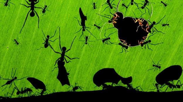 hormigas locas destrozan iphones tablets estados unidos