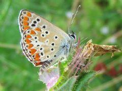 Curioso comportamiento sexual de las mariposas