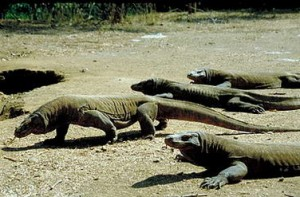 El peligroso Dragón de Komodo