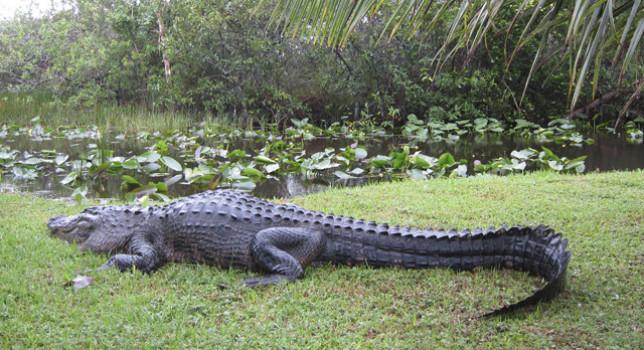 cocodrilo atrapa a turista dos semanas en isla